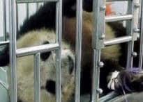 Injured panda gets false teeth