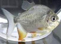Fish oil can keep heart diseases at bay