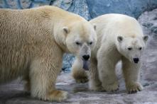 Russian Arctic Archipelago Sounds Alarm over Aggressive Polar Bears 'Invading' Homes