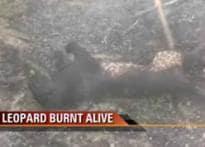 UP villagers capture leopard, burn it alive