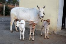 Kerala HC Declines to Stay Centre's Ban on Cattle Sale
