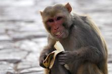 Monkey's Death Takes Communal Turn in UP's Shamli, Area Tense After Bajrang Dal Protests