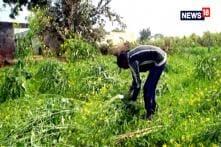 Reporters Project: Rain Wreaks Havoc For Farmers