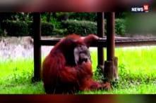 Watch: Orangutan Tries Out Cigarettes