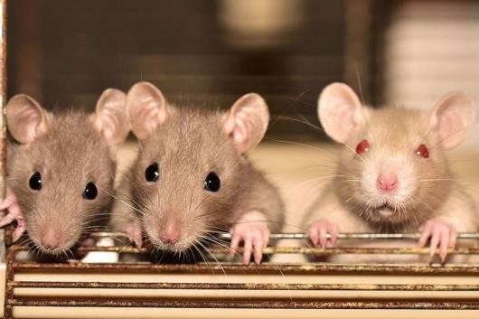 Hantavirus Kills One in China: Here's Why You Should NOT Panic About it