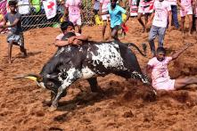 Viralimalai Jallikattu to Set World Record With 2,000 Bulls and over 500 Tamers