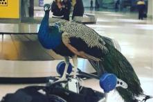 Artist, her Emotional Support Peacock Denied Entry on Flight