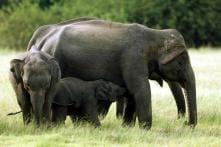 Four Sri Lankan Elephants Found Dead of Suspected Poisoning