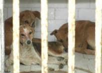 Dog menace: Sterilise or kill?