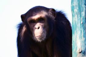 ED Goes Wild, Attaches Three Chimpanzees, 4 Marmosets in Money Laundering Case in Bengal