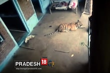 #Video: গ্রামে এল বাঘ !