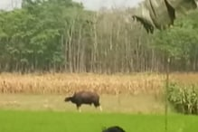 3 Bison entered Mathabhanga area of Kochbihar. locals are in fear
