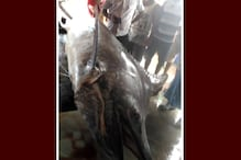 Video: দিঘার সৈকতে উঠল ১৮৫ কেজির উড়ন্ত মাছ, দেখতে ভিড় জমাচ্ছেন পর্যটকরা