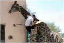 চিড়িয়াখানায় খাঁচার জাল টপকে জিরাফের পিঠে উঠে পড়লেন মত্ত যুবক, দেখুন ভিডিও--