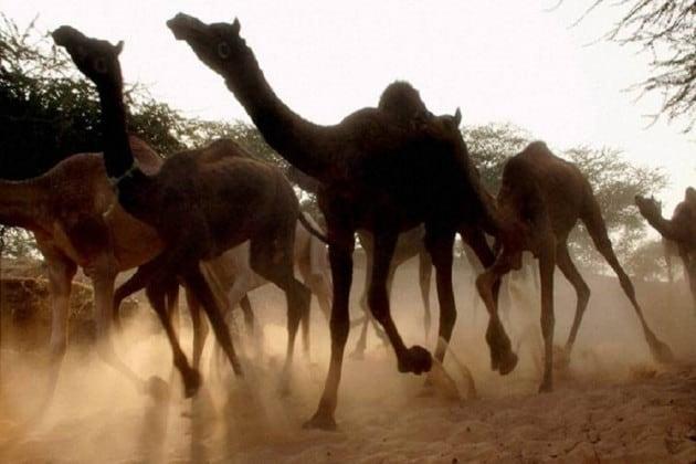 দাবানলে পুড়ছে লাখ-লাখ পশু, তার মধ্যেই ১০ হাজার উটকে গুলি করে মারার সিদ্ধান্ত নিল অস্ট্রেলিয়া