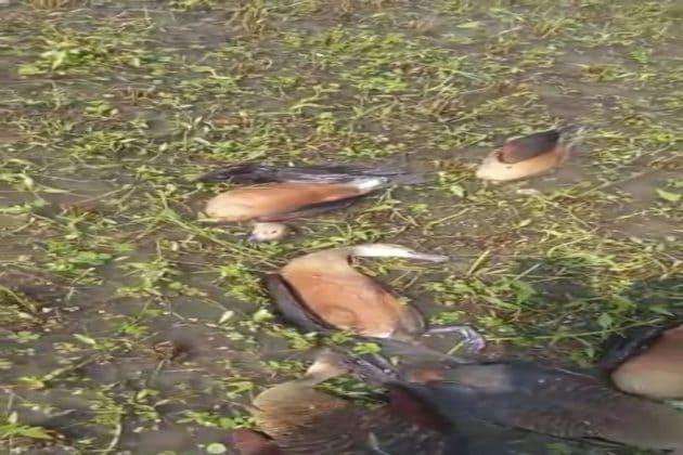 চুপিচরে শতাধিক পরিযায়ী পাখির মৃত্যু, করোনার আবহে নয়া আতঙ্কের কাঁটা বাসিন্দারা