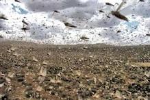 ভয়ানক! কীভাবে উড়ে আসছে লাখ লাখ পঙ্গপাল, খেয়ে যাচ্ছে ফসল, দেখুন ভিডিও
