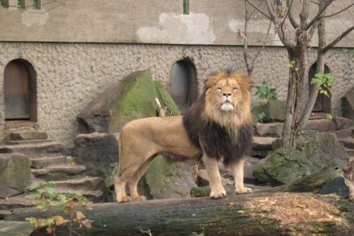 Coronavirus In Zoo : ভারতে এই প্রথম! হায়দরাবাদের চিড়িয়াখানায় ৮ সিংহ কোভিড পজিটিভ...