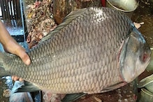 Bangladesh News: ইলিশ নয় কাতলাতেই বাজিমাত! দামে কাঁপল বাজার, নিলামে চক্ষু চড়ক গাছ...