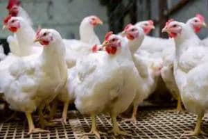 Broiler Chicken| ব্রয়লার চিকেন থেকে ছড়াচ্ছে করোনা? জানুন বিস্তারিত...