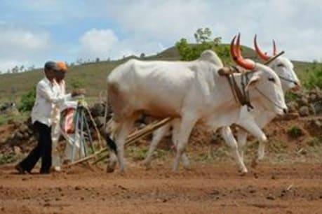 ગુજરાતનો ખેડૂત છે દેણાંમાં ગરકાવ, કેન્દ્રના રિપોર્ટ પ્રમાણે 43% ખેડૂતો પર છે દેવું