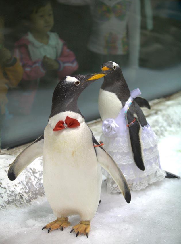 લંડનનાં ઓસેનોરિયમમાં પેંગ્વિનનાં લગ્ન કરવામાં આવ્યા હતા. સ્થાનિક સત્તાવાળાઓએ ચાર જોડી પેંગ્વિનનાં લગ્ન કરાવ્યા હતા.