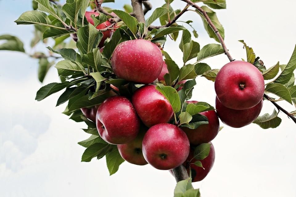 સફરજનમાં આયર્ન હોવાથી તેને કાપતા જ કાળા પડી જાય છે. તેથી એનીમિયા એચલે કે લોહીની ઉણપથી પીડાતા લોકોને રોજ સફરજનનો જ્યૂસ પીવાથી ફાયદો થશે.