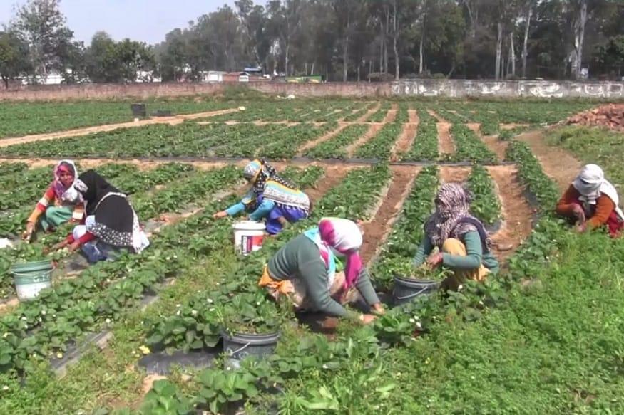 હરિદ્વાર-રૂડકીમાં મોટાભાગના ખેડૂતો શિરડીની ખેતી કરે છે પરંતુ તેમાં મહેનતનું ફળ સમય પર નથી મળતું. તેનાથી વિપરીત સ્ટ્રોબેરી વેચીને તુરંત પોતાની મહેનતનું ફળ મેળવી શકાય છે.
