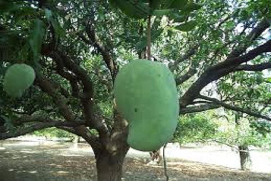 નૂરજહાંના ફળ લગભગ એક ફૂટ લાંબા હોઈ શકે છે. તેની ગોટલીનું વજન જ 150થી 200 ગ્રામ વચ્ચે હોય છે. નૂરજહાંના ફળોની સીમિત સંખ્યાના કારણે તેનો શોખ ધરાવતા લોકો પહેલાથી જ તેનું બુકિંગ કરાવી લે છે, જ્યારે તે ઝાડ પર લટકી રહી હોય. માંગ વધવા પર તેના માત્ર એક ફળની કિંમત 500 રૂપિયા સુધી પહોંચી જાય છે. ઈંદોરથી લગભગ 250 કિમી દૂર કટ્ઠીવાડામાં આ પ્રજાતીની ખેતીના વિશેષજ્ઞ ઈશાક મંસૂરીએ જણાવ્યું કે, આ વખતે હવામાનની મહેરબાનીથી નૂરજહાંના ઝાડ પર ખૂબ ફળ લાગ્યા છે.