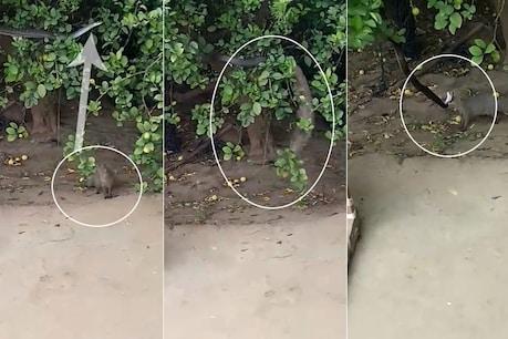 VIDEO : ખાંભામાં 8 ફૂટ લાંબા સાપને નોળિયાએ છલાંગ લગાવી દબોચ્યો