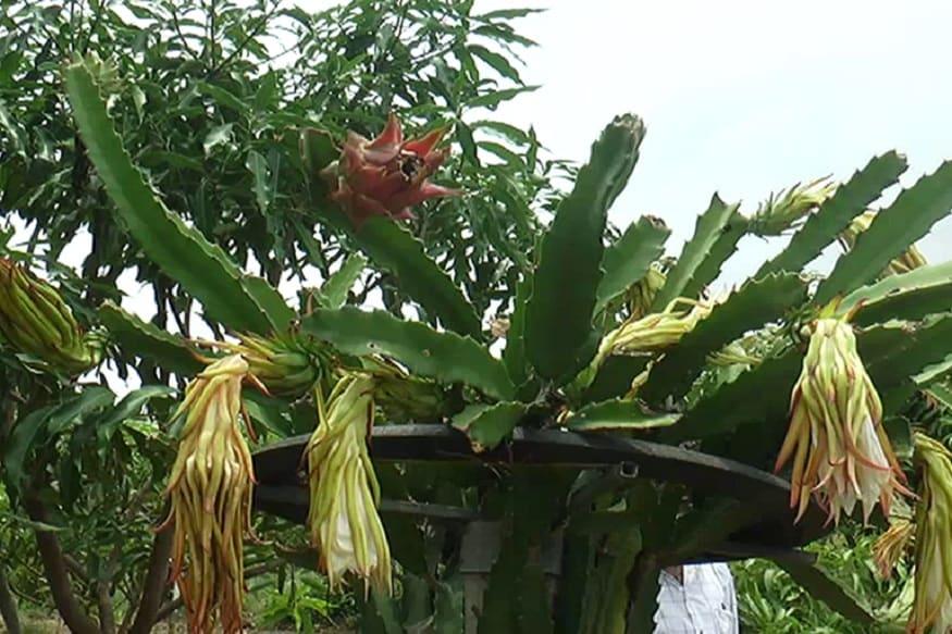 પોતાની જમીનમાં જમરૂખ, ખજૂરની સાથે ડ્રેગાન ફ્રૂટ નામની વિદેશી ફળની ખેતીમાં પાક લીધો છે. સામાન્ય રીતે થાઈલેન્ડથી તેઓ ચાર હજાર જેટલા છોડ લાવી રોપ્યા હતા. ઓછી મેહનતે ખર્ચ સાથે પ્રવીણ ભાઈએ વિદેશી ફળને ખેતીમાં પ્રયોગ કર્યો હતો.