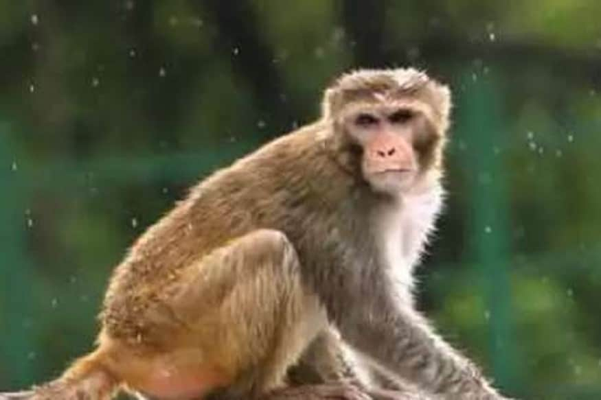 કરોડોની સંપત્તિનો માલિક બન્યો વાંદરો, લગ્નમાં મળશે આલિશાન મહેલ