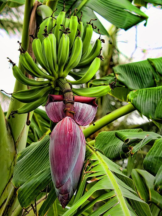 કેળા ખાવાથી તો ઘણાં ફાયદા થાય જ છે એ આપણે સૌ કોઈ જાણે છે. પરંતુ કેળાના પાન પર ભોજન પણ કરવામાં આવે છે. પણ શું તમે જાણો છો કે માત્ર કેળું જ નહીં, તેના ફૂલ પણ આપણા શરીર માટે લાભકારી છે . પાન પર ભોજન કરવાથી આરોગ્ય પર પણ ખૂબ સારી અસર થાય છે.