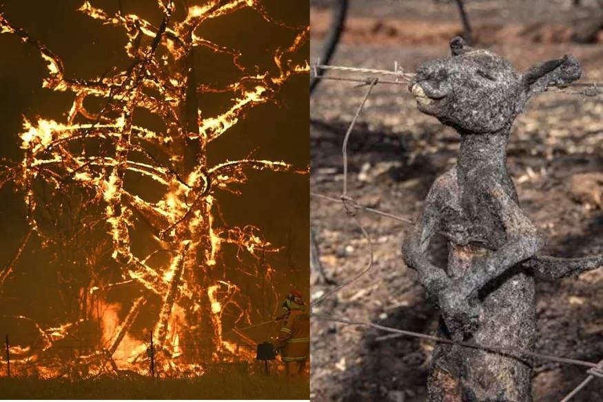 કૈનબરા : ઑસ્ટ્રેલિયા (Australia)ના ન્યૂ સાઉથ વેલ્સ (New South Wales)ના જંગલોમાં લાગેલી આગ (Fire) હવે ખૂબ જ ખતરનાક સ્તરે પહોંચી ગઈ છે. ગયા વર્ષે સપ્ટેમ્બરમાં લાગેલી આ આગથી અનેક લોકો માર્યા ગયા છે ઉપરાંત 50 કરોડ જાનવરો અને પક્ષીઓના પણ મોત થયા છે. આ દરમિયાન એક હૃદય કંપાવનારી તસવીર પણ સોશિયલ મીડિયા પર વાયરલ થઈ રહી છે. જેમાં એક કંગારુનું બચ્ચું બળી ગયેલી હાલતમાં તારથી વળગેલું છે.