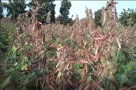 તીડ પ્રભાવિત વિસ્તારના ખેડૂતો માટે રાજ્ય સરકારે 31.45 કરોડ રુપિયાનું સહાય પેકેજ જાહેર કર્યું