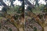 ઝાડ પર લટકતો દેખાયો વિચિત્ર જીવ, લોકોએ પૂછ્યું- આ શું છે?