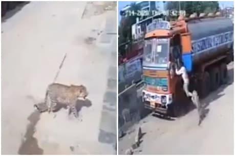 VIDEO: દીપડાએ ટ્રક ડ્રાઈવર પર કર્યો હુમલો, કૂતરાઓએ આવી રીતે બચાવ્યો જીવ