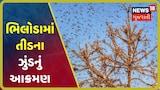 Aravalliના ભિલોડામાં તીડના ઝુંડનું આક્રમણ, ગ્રામજનોએ થાડીઓ વગાડી તીડને ભગાડ્યા