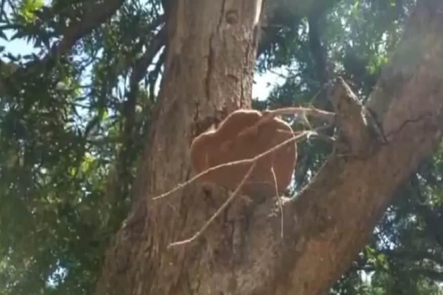 માનવામાં આવે છે કે જો કોઈ આવું કરે છે તો તેને ભારે નુકસાન પહોંચે છે. જંગલના લાકડાને માત્રે મંદિરમાં સળગાવવામાં આવે છે જેની વિભૂતી બને છે. અને ભક્તોને પ્રસાદ રૂપે આપવામાં આવે છે. આ સંબધે પઠાણકોટ ડીએફઓ સંજીવ તિવારીએ કહ્યું કે, આ એક જૂનું જંગલ છે જેમાં અનેક પ્રકારના ઝાડ હાજર છે.