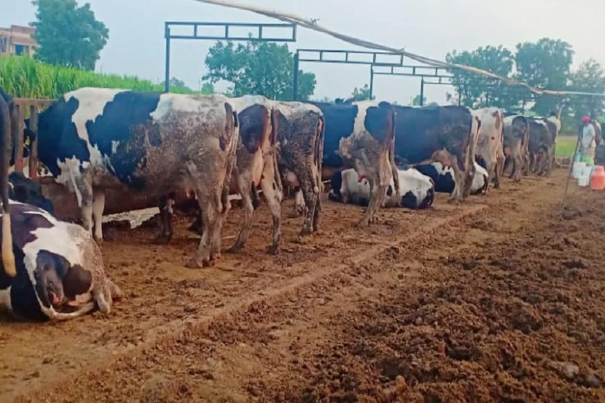 આ મામલે અહમદનગરના ખેડૂત નંદુ રોકડેએ ન્યૂઝ 18 સાથેની વાતચીતમાં જણાવ્યું કે તેમની પાસે 15 ગાય છે. પ્રતિદિન તેઓ 3,000 રૂપિયાની નુકશાની ભોગવી રહ્યા છે.