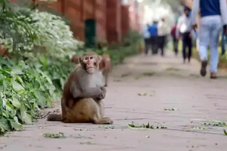 3000 કરોડ રૂપિયાના આ વેપારમાં મોટી ભૂમિકા ભજવે છે વાંદરા! પણ હવે સંકટમાં છે આ બિઝનેસ