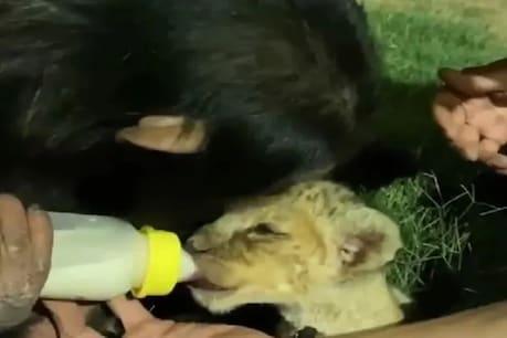 ચિમ્પાન્ઝીએ સિંહ બાળને પીવડાવ્યું દૂધ, Video જોઈ લોકોએ કહ્યું- 'આ મમતા છે'