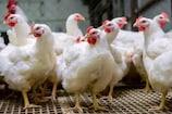Fact Check: Broiler Chicken ખાવાથી થાય છે Corona વાયરસ? જાણો - સચ્ચાઈ