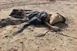 બીચ પર એલિયન જેવો દેખતો અજીબ જીવ મળ્યો, સોશિયલ મીડિયામાં ફોટો થયા Viral