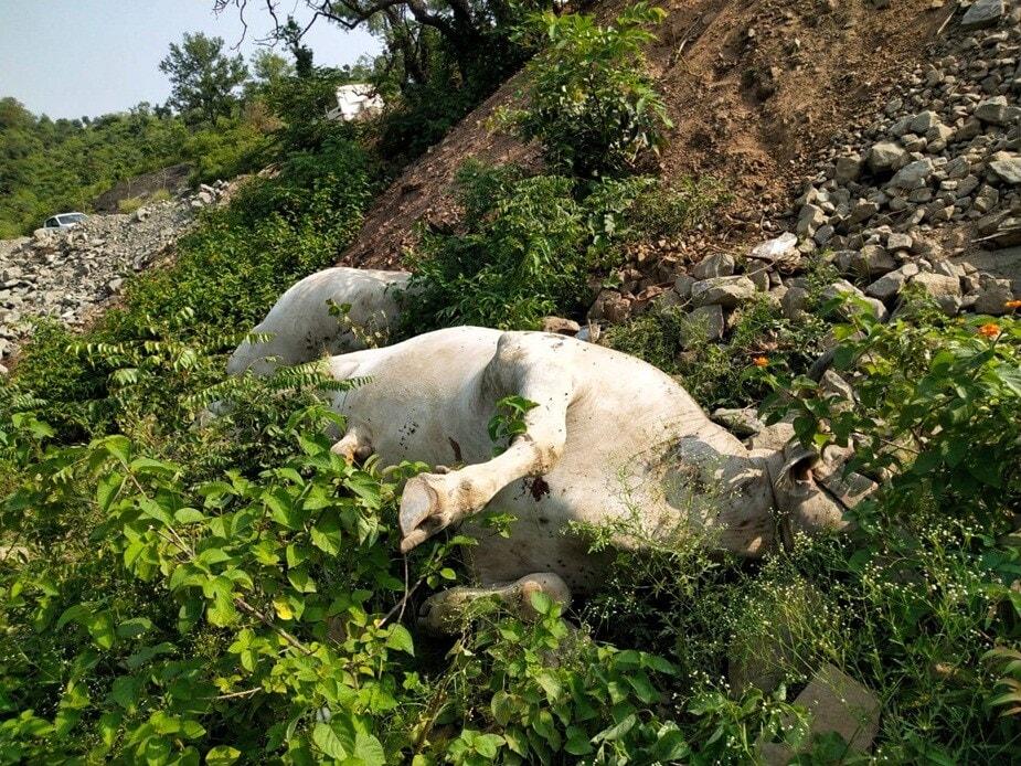 આ ઘટના વાંચીને તમે પણ કહેશો કે પહેલા માણસાઇ મરી અને પછી પ્રાણી. ઘટના હિમાચલ પ્રદેશના (Himachal Pradesh) ઉના (Una) જિલ્લાની પાસે આવેલા ગામની છે. જ્યાં 5 બળદ (cow killing, bull) સાથે કંઇક તેવું કરવામાં આવ્યું છે જે વિષે વિચારતા જ આપણે કપકપી જઇએ. તે વાત તો બધા જ જાણે છે કે ગાય દૂધ આપતી હોવાના કારણે તેને પશુપાલકો જીવને જેમ સાચવે છે. પણ બળદનું આજના ટેક્ટરના સમયમાં કોઇ ખાસ કામ નથી. જો કે કારણ જે પણ હોય તેમ છતાં મુંગા પ્રાણી સાથે આ નિર્દયતાપૂર્વકની ઘટના કરવી કોઇ પણ રીતે સહન કરાય તેવી વાત નથી.