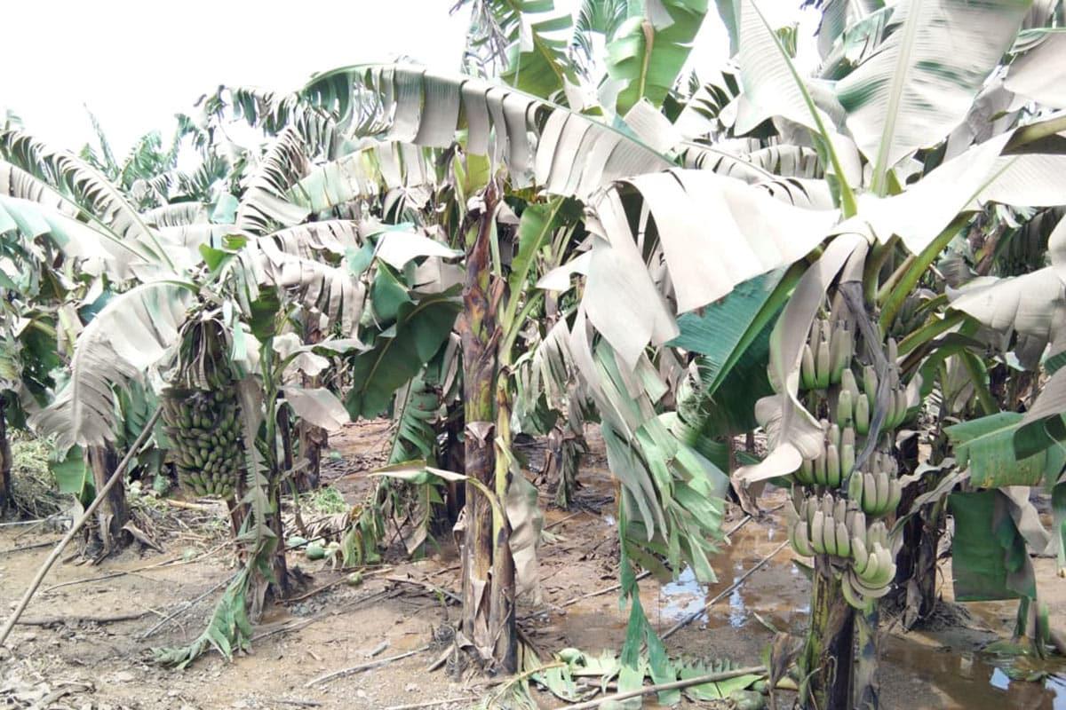 કેળાના પાકને નુકસાન.