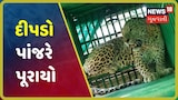 Gir Somnathના ઉનામાં સુગર મીલ પાસેથી આશરે 8 વર્ષનો દીપડો પાંજરે પૂરાયો