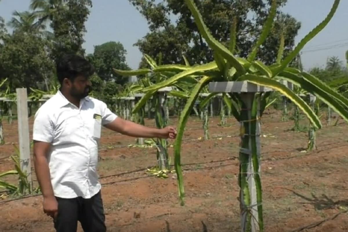 ભાવીન પટેલ, નવસારીઃ દક્ષિણ ગુજરાત (south Gujarat) અને એમાં ખાસ કરીને નવસારી જિલ્લો (Navsari jilla) જે બાગાયતી વિસ્તાર તરીકે પ્રખ્યાત છે. આજ દિવસ સુધી નવસારી જિલ્લામાં માત્ર શેરડી, કેરી, ચીકુ અને ડાંગરની ખેતી કરવામાં આવતી હતી. પરંતુ ગણદેવી (Gandevi taluka) તાલુકાના એક સમૃદ્ધ ખેડૂતે જિલ્લામાં પહેલી વાર ડ્રેગન ફ્રૂટનું (Dragon Fruit) વાવેતર કરી જિલ્લામાં કૃષિ ક્ષેત્રે નવી શરૂઆત કરી છે.