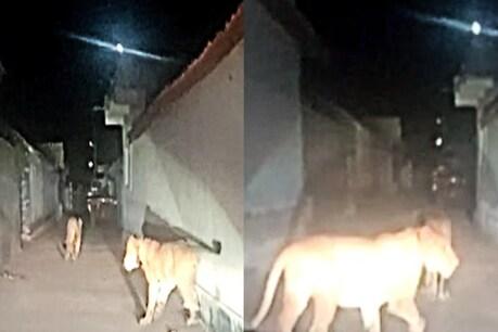અમરેલી : સિંહોની પજવણીનો વધુ એક વીડિયો વાયરલ થયો, શેરીઓમાં સાવજ પાછળ કાર દોડાવી