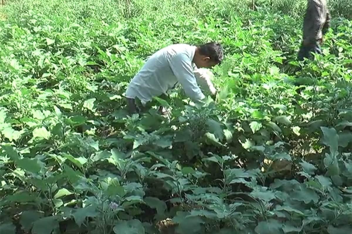 રાજેશ જોશી, પંચમહાલ: વર્તમાન સ્થિતિ સાથે ખેડૂતો ખેતીની પદ્ધતિ (Traditional Farming)માં બદલાવ લાવી પાકનું સારું ઉત્પાદન મેળવતા થયા છે. પંચમહાલ જિલ્લાના ખેડૂતો (Panchmahal Farmers) પણ હવે ખેત ઉત્પાદન માટે વાવેતર કરવાનીપેઢીગત રીત બદલી સર્ટિફાઇડ અને હાઈબ્રીડ બિયારણ (Hybrid Seeds)નો ઉપયોગ કરી રહ્યા છે. આ સાથે જ તેઓ અન્ય ખેડૂતોને પણ હાઈબ્રીડ બિયારણનો ઉપયોગ કરવાની અપીલ કરી રહ્યા છે.